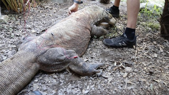 INSIDE LOOK: SA Zoo uses acupuncture to treat Komodo dragon Bubba's arthritis