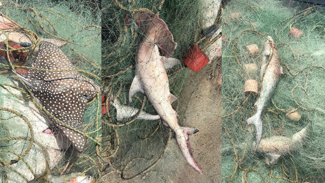38 sharks, 28 rays caught in illegal fishing net off Texas coast
