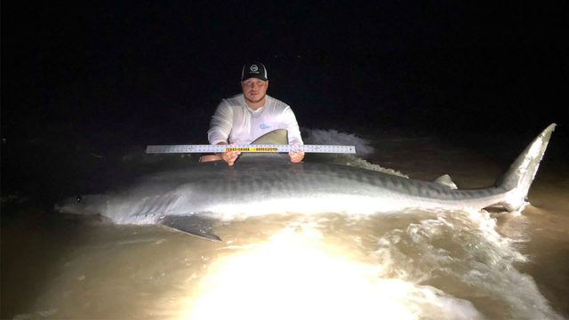 11-foot, 7-inch tiger shark caught off beach in Corpus Christi