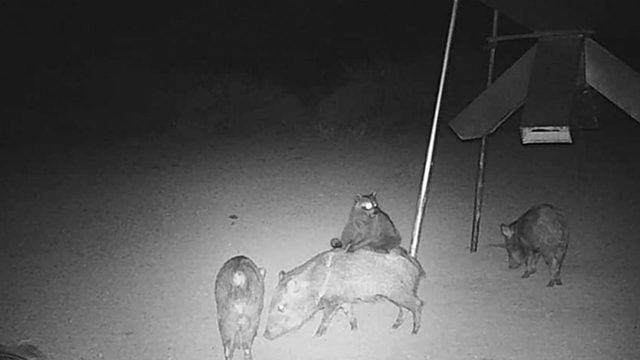 Raccoon riding javelina? You have to see these photos