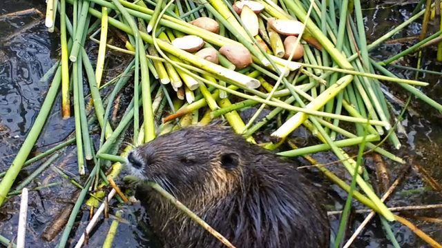 California ramps up efforts to combat invasive swamp rodents