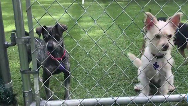 Adopt a Chihuahua at Texas Chihuahua Rescue