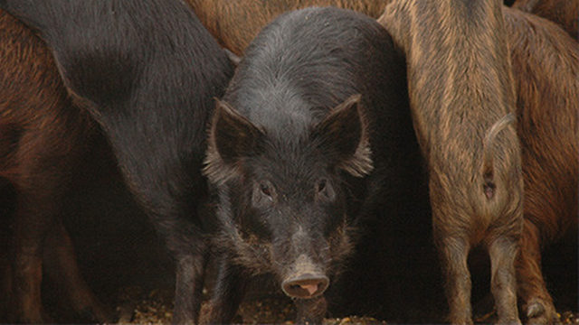 About 550 feral hogs removed from San Antonio military bases per year,…