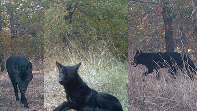 Rare black coyote spotted in Austin